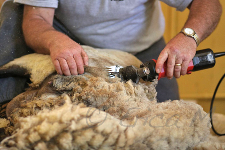 Sheep Shearing & Dog Photo Safari - Ottawa