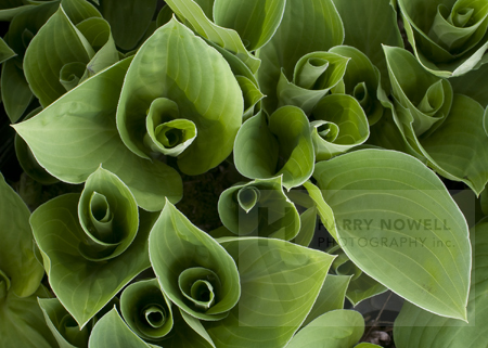 Ottawa Greeting Card  Hosta