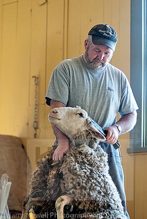 Sheep Shearing Photography Safari - Ottawa